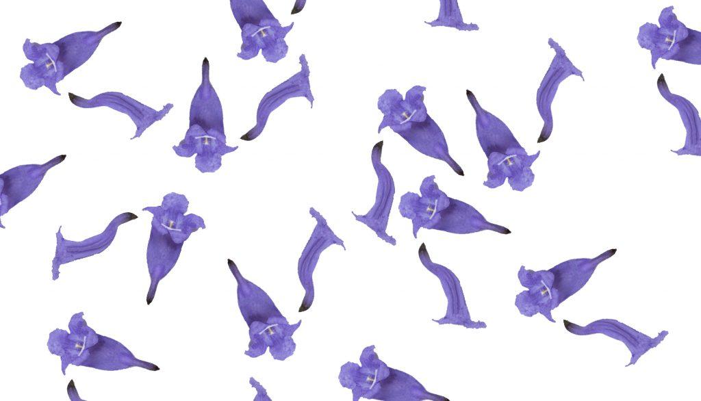 flores del jacaranda 52681943 copy